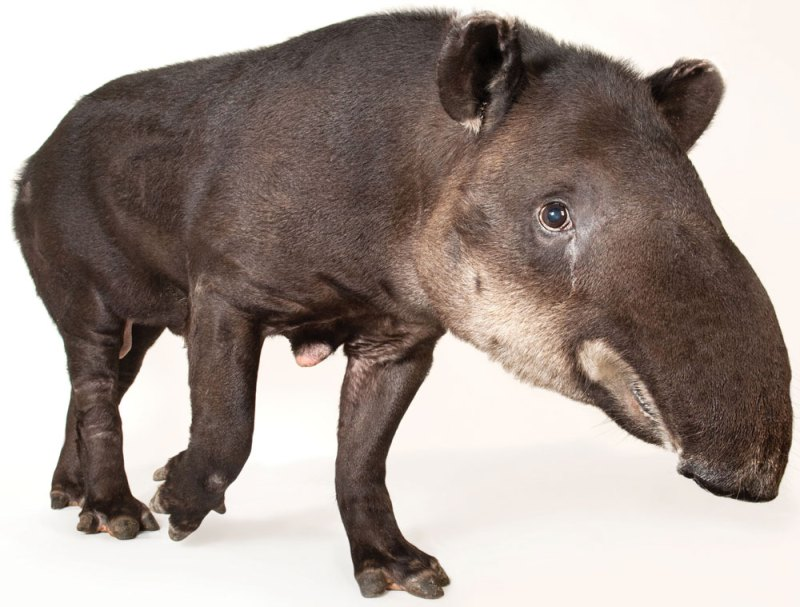 TAPIRS ARE SO COOL  And Costa Rica is Their Last Best Hope for Survival
