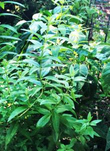 A Pure Life Nutrition, Lemon Verbena