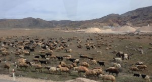sheep grazing by Salt Lake