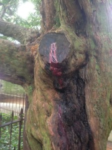 Bleeding yew