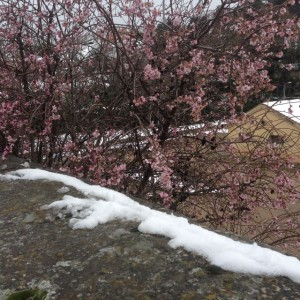 blossoms in the snow