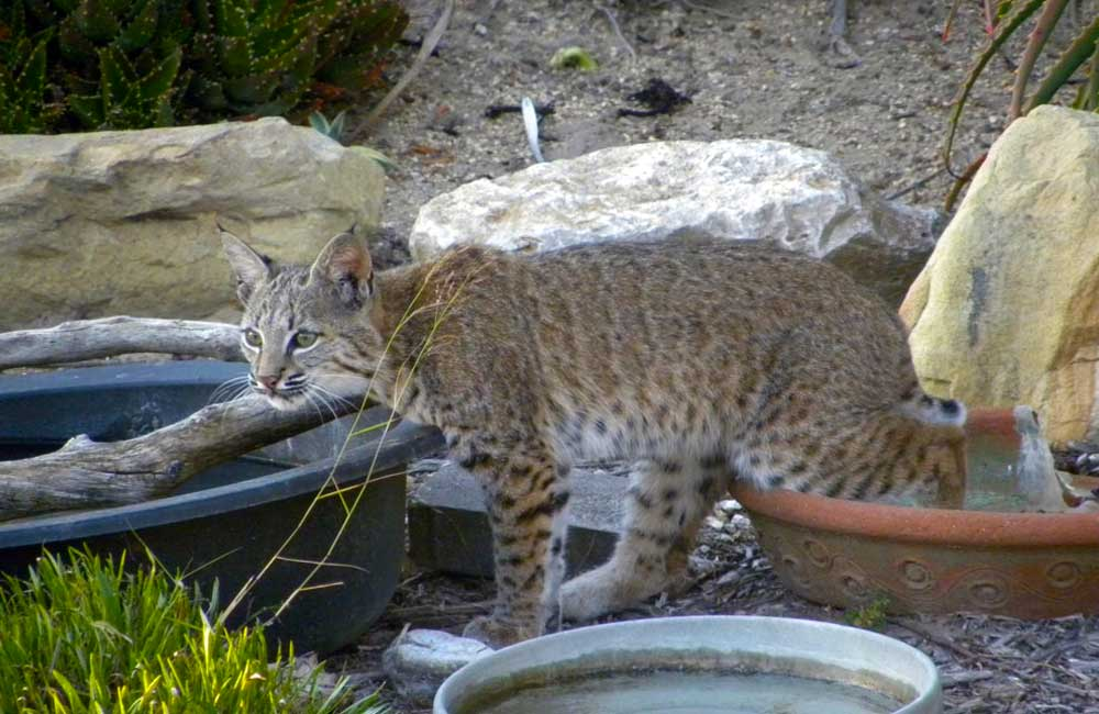 Bobcat in our backyard