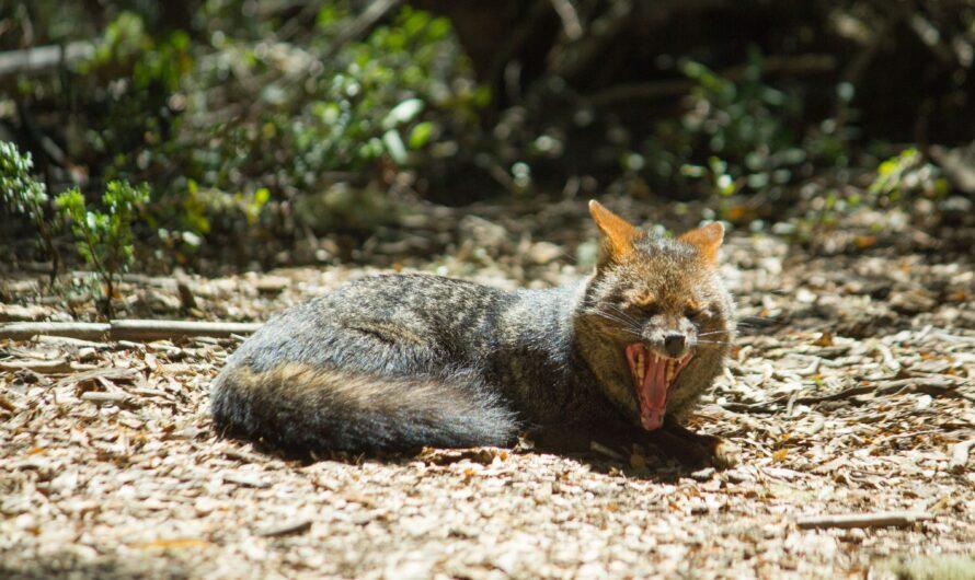 Alianza público-privada protegerá al zorro de Darwin a través de monitoreo basado en Inteligencia Artificial.