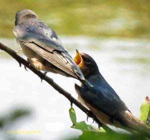 barn swallows -- Scalzi Riverwalk