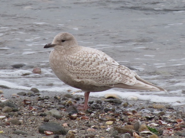 Iceland Gull at Sherwood Island