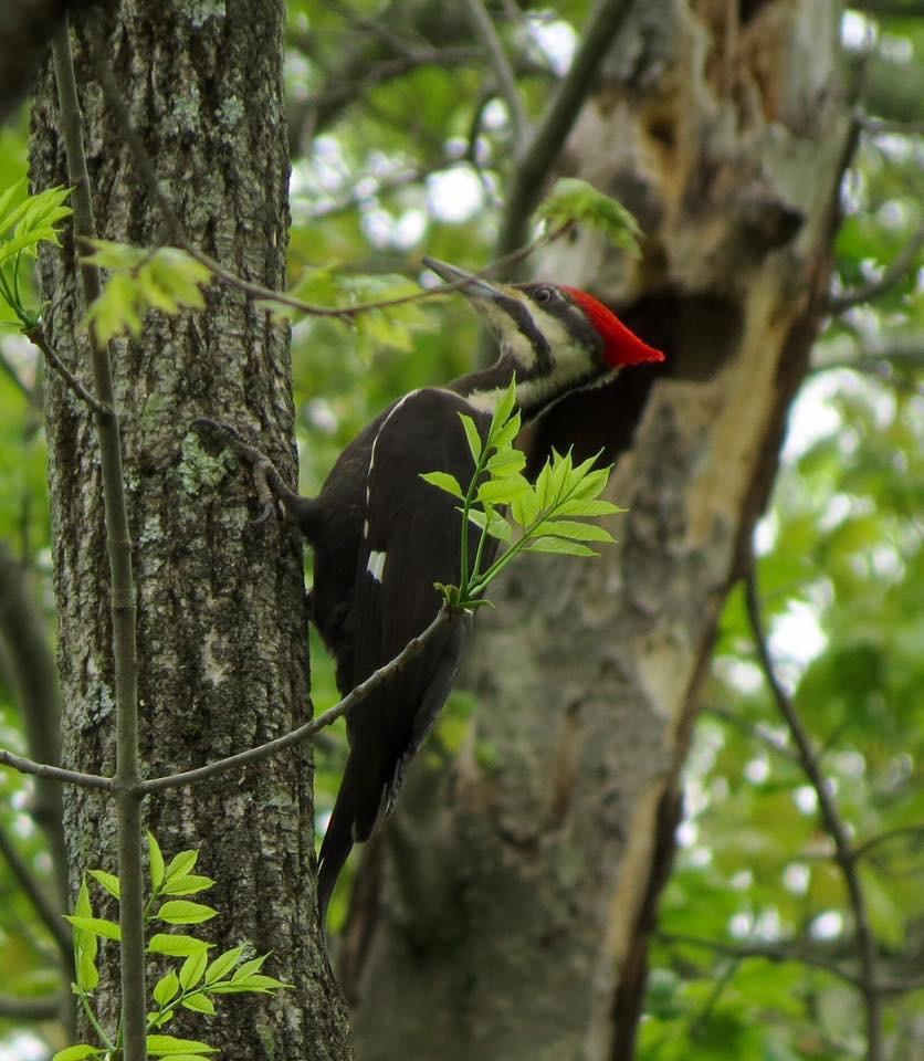 Pileated Woodpecker at Bartlett Arboretum