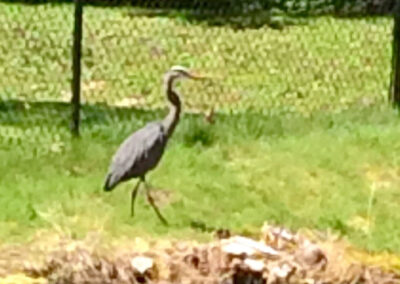 Heron-at-our-pond