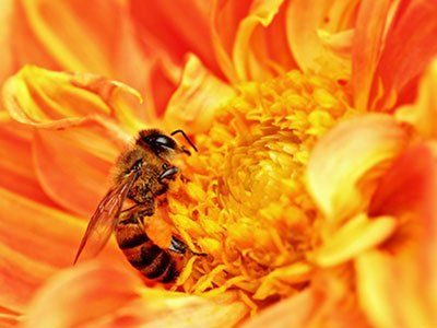 Africanized-Honey-Bees-640w