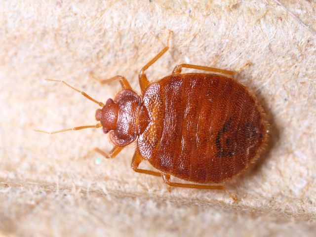Bed+Bug-640w