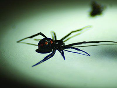 Black-Widow-Spiders-640w