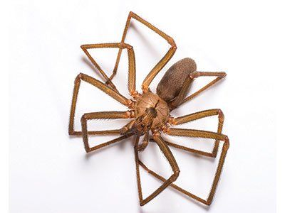 Brown-Recluse-Spiders-640w