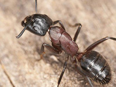 Carpenter-Ants-640w