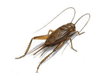 Crickets-640w