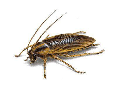 German-Cockroach-640w