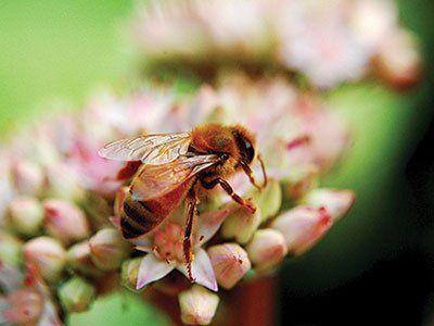 Honey-Bees-640w
