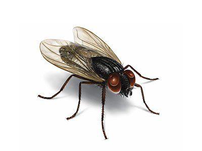 House-Flies-640w