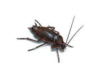 Oriental+Cockroach-640w