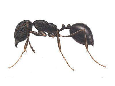 Pavement-Ants-640w