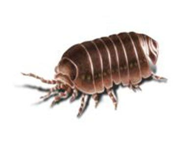 Sowbugs-640w
