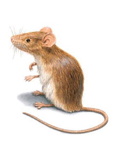 House-Mice2