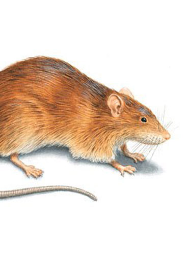 Norway-Rats2