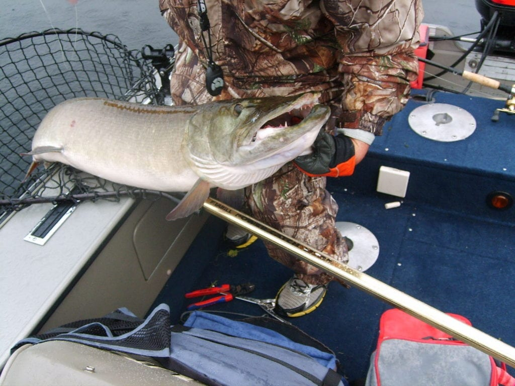 51.5 inch French River Delta Muskie Fishing Ontario