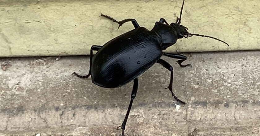Beetles take over the grounds at Pima