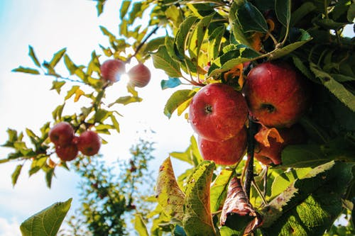 Picking Apples in the Fall