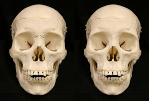 nasion dry skull