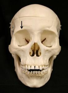 supraorbitale dry skull
