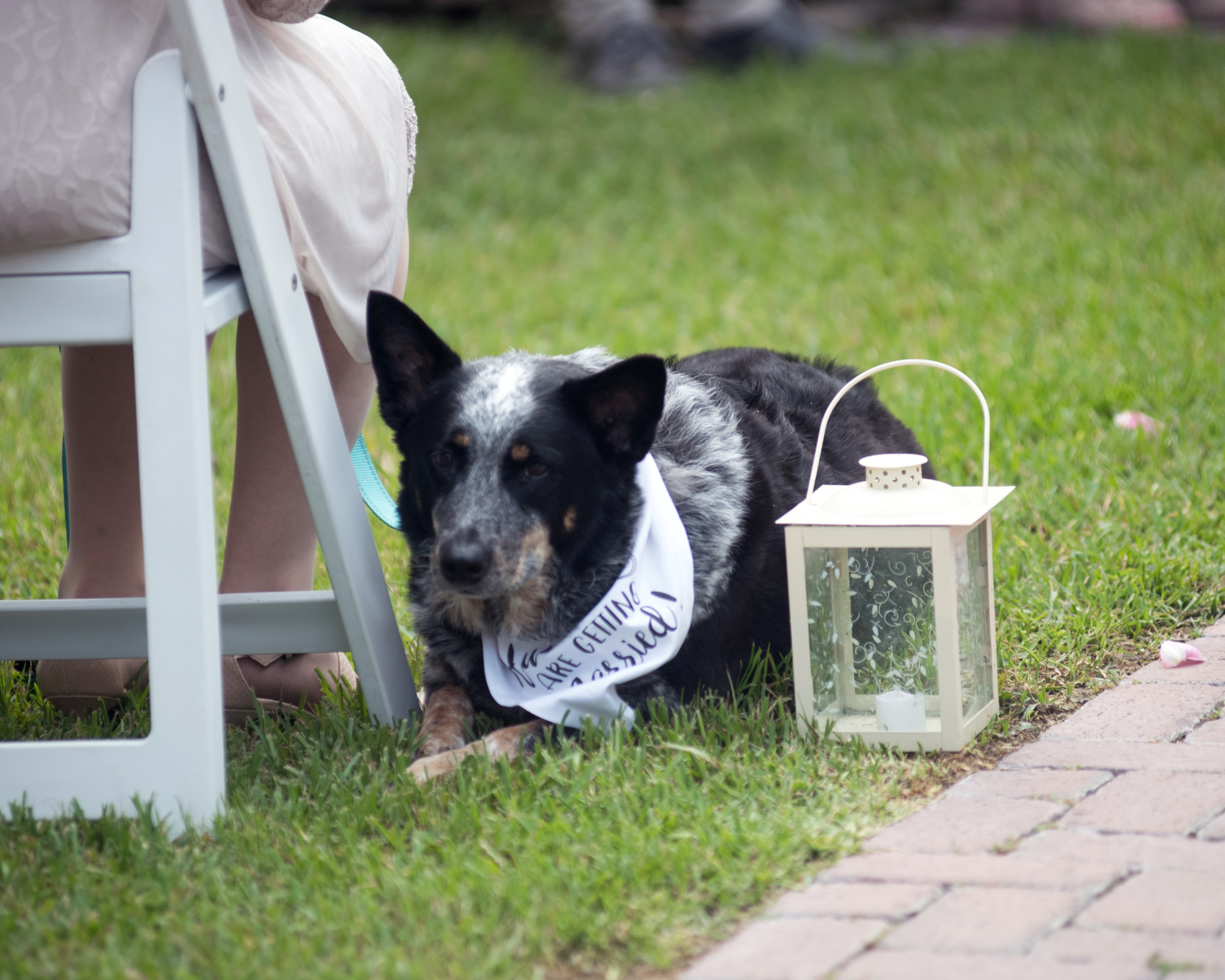 Blue Tick Heeler with white bandana laying down next to a guest during a ceremony - Covid-19 Weddings