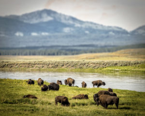 Heard of Buffalo at Yellowstone National Park
