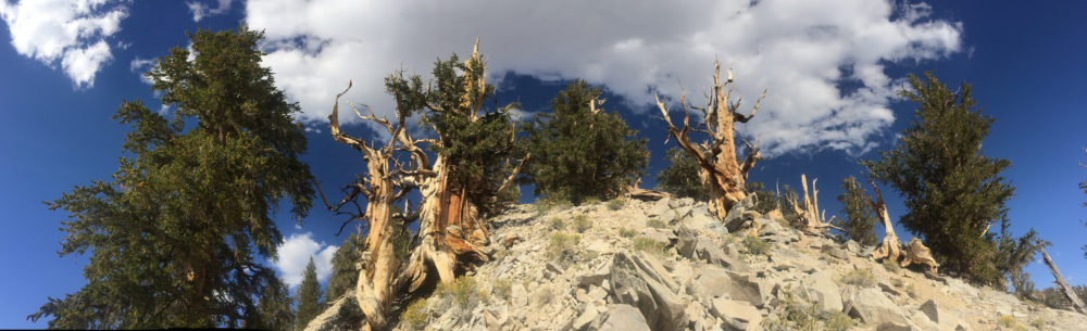 Great Basin Bristlecone Pine, White Mountains. CC image courtesy of Laura Camp on Flickr.