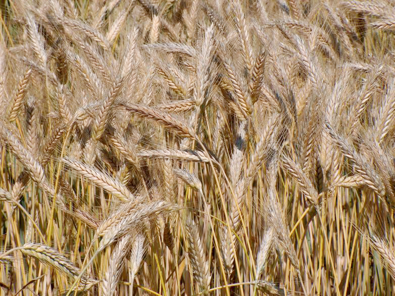 Triticale. Photo by Markus Hagenlocher, Creative Commons Attribution-ShareAlike 3.0 Unported license