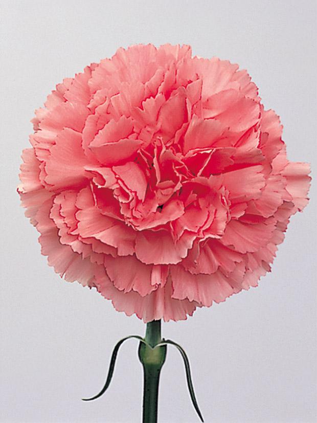 Carnation Image