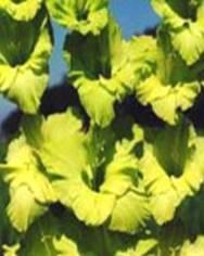 Gladiolas Image
