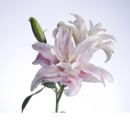 Lily (Double Blooming) Image
