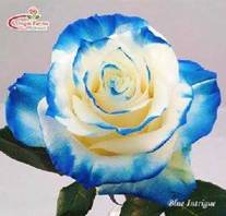 Blue Tinted Rose Image