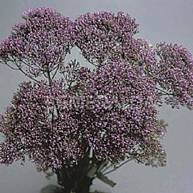 Trachelium - Lavendar Image