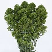 Trachelium - Jade Image
