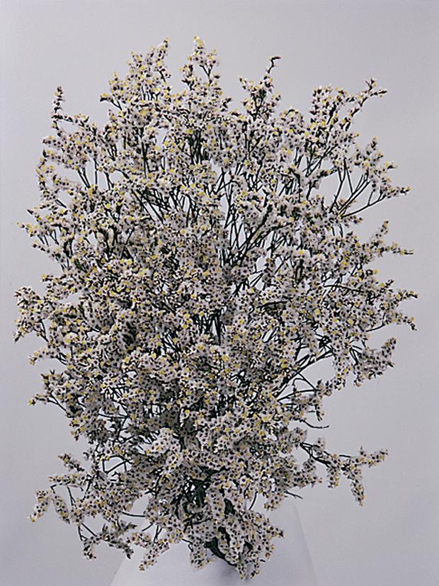 Limonium Image