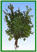 Green Huck Image