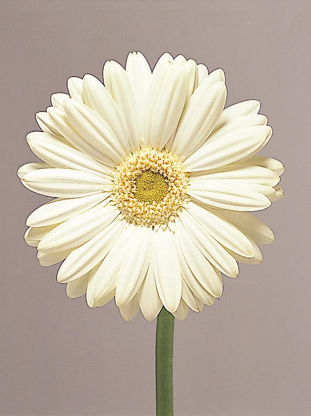 Gerber Daisy Image