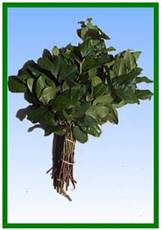 Salal Tips (lemon leaf) Image
