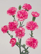 Mini Carnation Image
