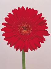 Mini Gerber Daisy Image