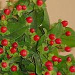 Hypericum Berries Image
