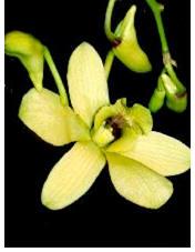 Orchid (Dendrobium) Image