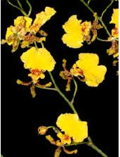 Orchid (Oncidium) Image