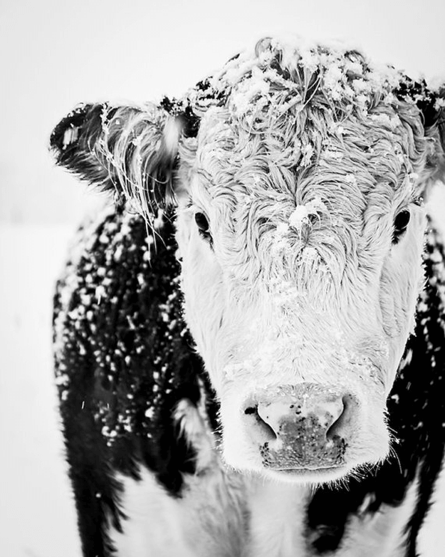 black and white cow in snow